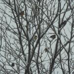 2013 snowy birds
