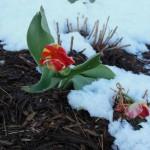 2013 tulips