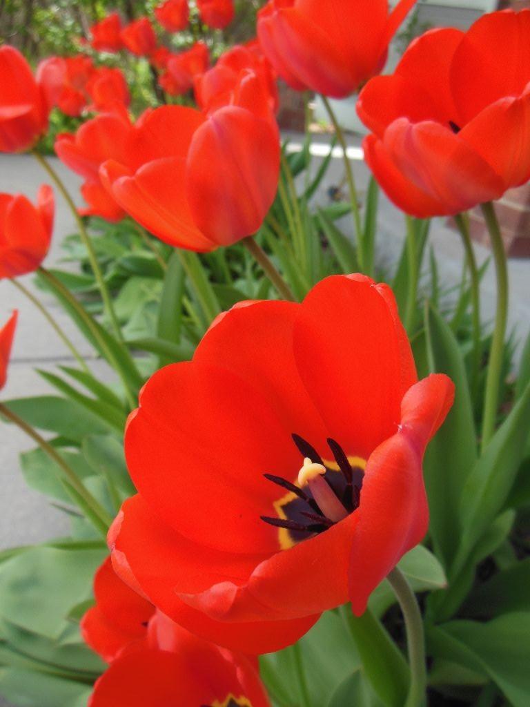 2016_tulips